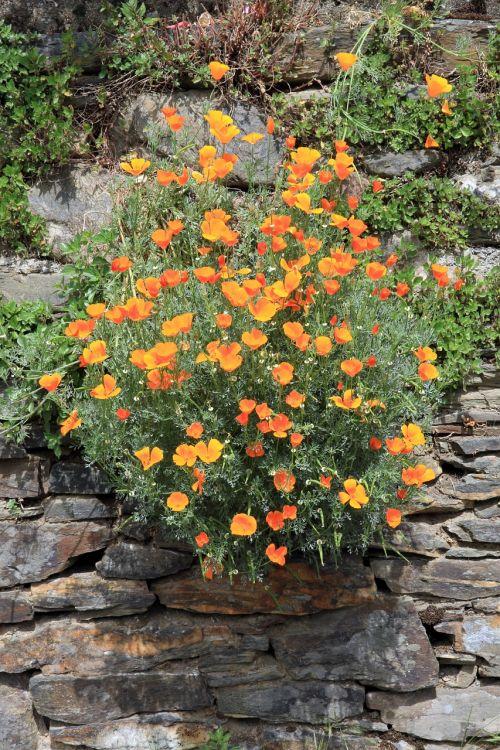 plant flowers california poppy