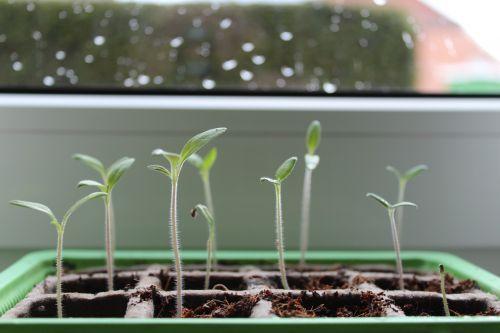plant green tomato plant