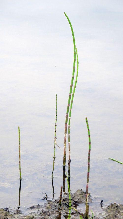 augalas,vandens augalas,variklis,žiedas,fauna,dviratininkas,bankas,ežeras,teichplanze