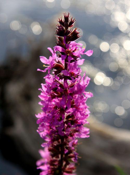 augalas,vanduo,gėlė,fikcija,violetinė,orchidėja