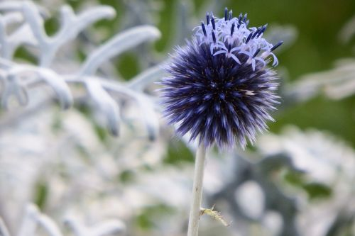 plant ornamental thistle dry