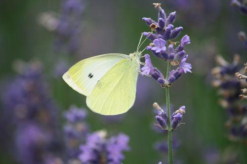 plant lavender flowers summer