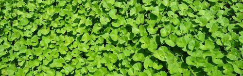 plant herb medicinal