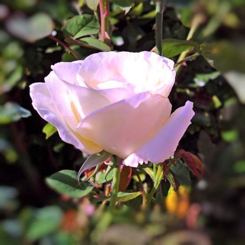 plant floribunda rose bloom
