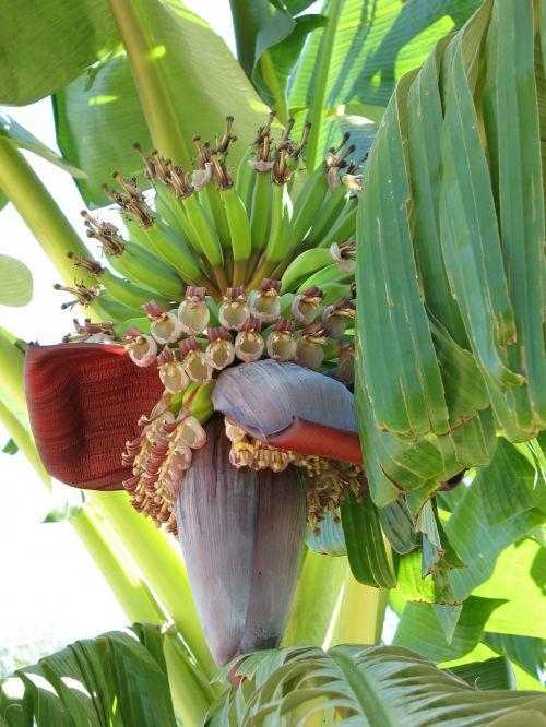plant banana banana shrub