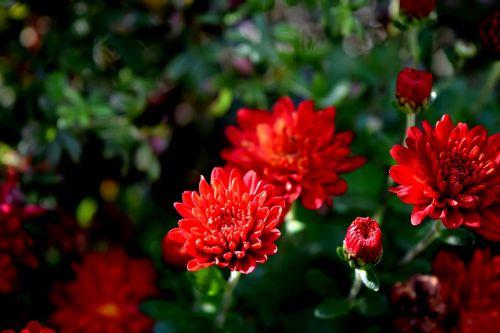 plant flower mum