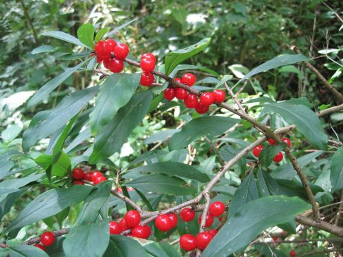 plant shrubs daphne