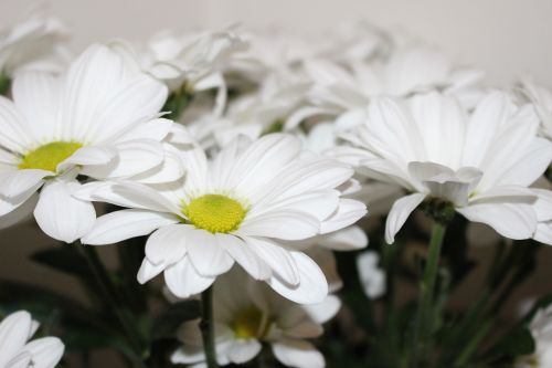 the chrysanthemum white white chrysanthemum