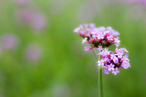 plant purple verbena