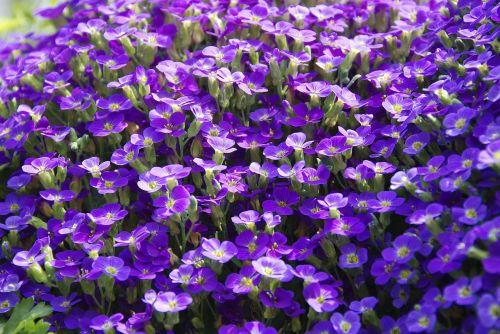 plant viola violet plant
