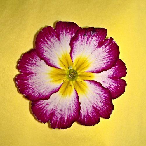 plant primrose cowslip