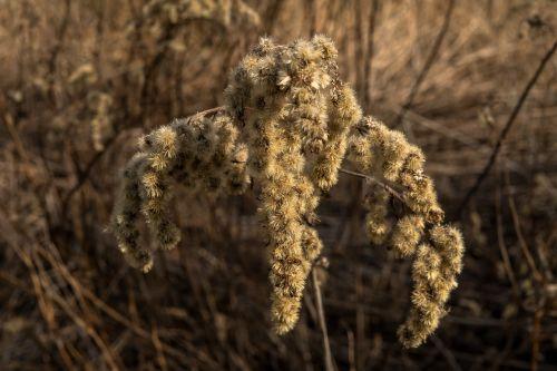 plant dry blossom