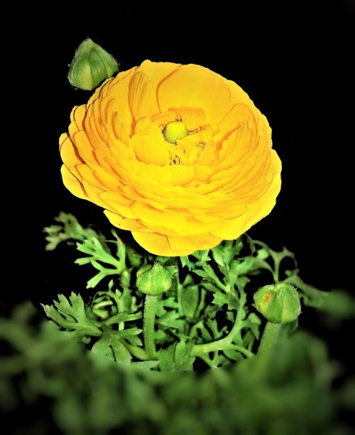 plant ranunculus early bloomer