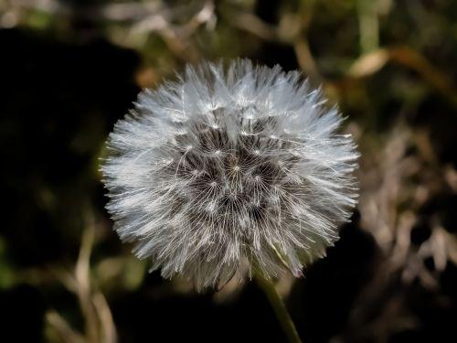 augalas,gamta,trapi,kiaulpienė,pavasaris,flora,Kipras