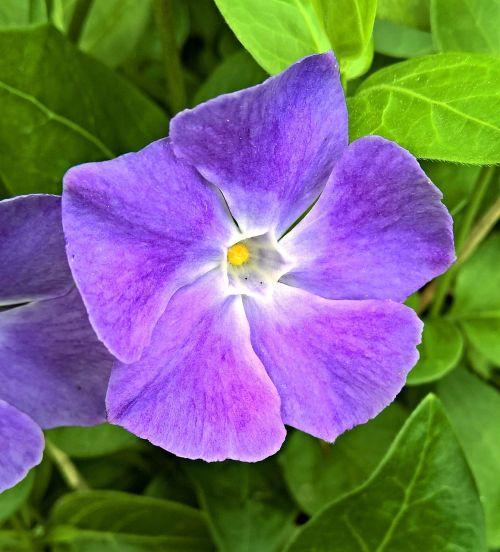 plant periwinkle vinca