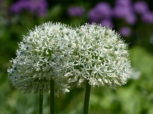 plant flower allium