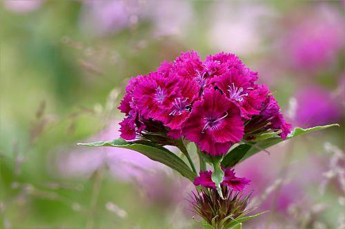 plant flower sweet william
