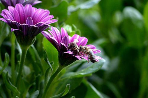 plant flower bornholm marguerite