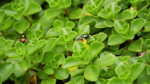 plant ground cover fly