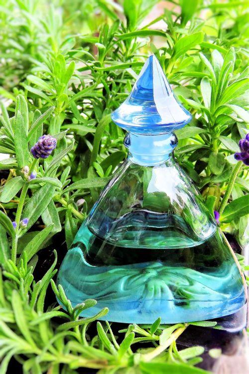 plant lavender lavender flowers
