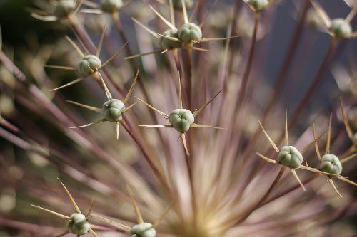 augalas,erškėčių,dygliuotas