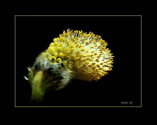augalas,žiedas,žydėti,žiedadulkės,ganykla,gamta,flora,makro,geltona,Uždaryti,bičių žiedadulkės,gluosniai kačiukai,pavasaris,ganymas šiltnamyje,palmių kačiukas,tuti,makro nuotrauka,filialas,šviesa,saulės šviesa,lichtspiel