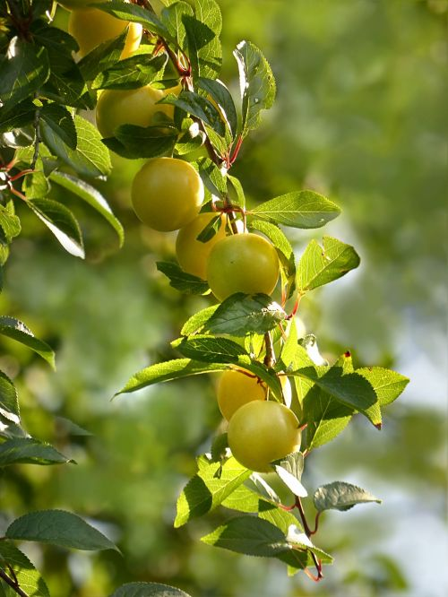plant fruit tree mirabelle
