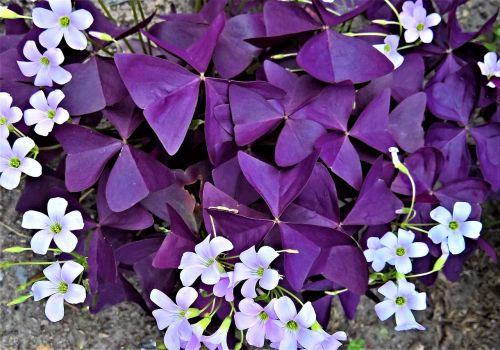 plant sorrel common sorrel plant