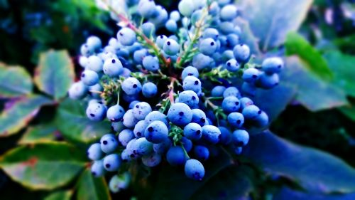 plant berries blue