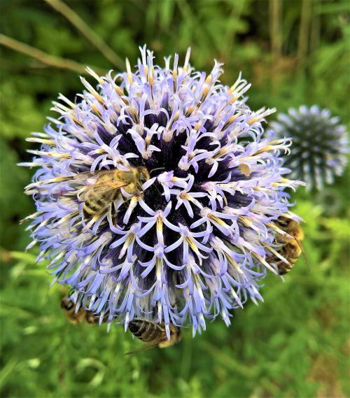 augalas,žiedas,žydėti,distelart,sidabrinė dagys,šviesiai mėlynas,violetinė,globule,medus bitės,bičių kostiumas,nektaras,žiedadulkės,gamta,Uždaryti