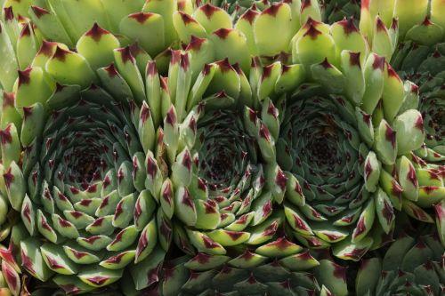 plant fat houseleek