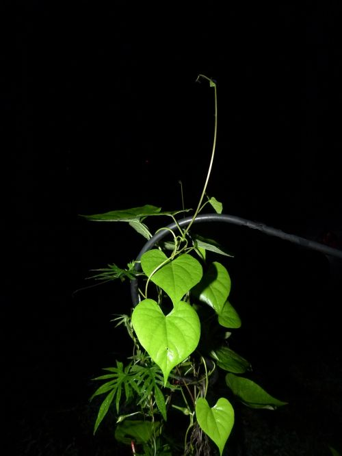 plant green vine