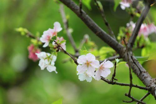 plant cherry blossoms the big island of sakura