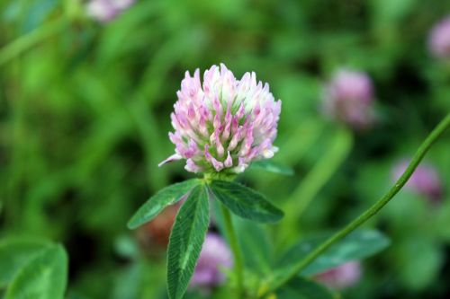 plant clover meadow
