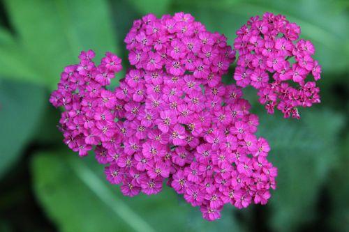 plant achillea yarrow
