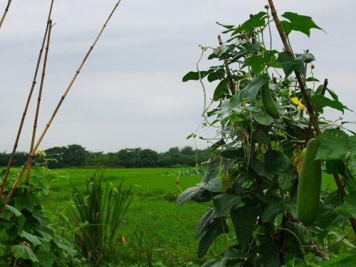 plant luffa cylindrica rain