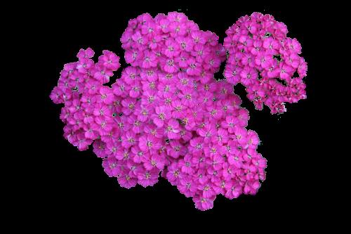 plant achillea png