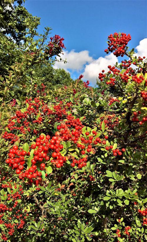 augalas,kumelėlis,krūmas,dekoratyvinis augalas,daugelis uogų,raudona,šviesus,ruduo