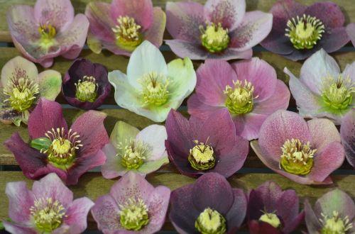 plant hellebore flower