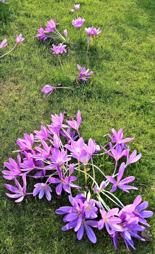 plant herbstzeitlose lily family