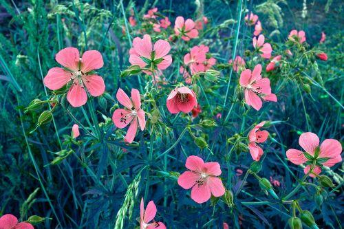 plant flower geranium sanguineum