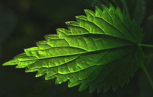 plant leaf nettle