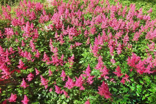 plant flower astilbe