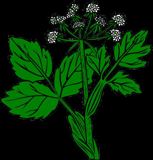 plant snakeroot white