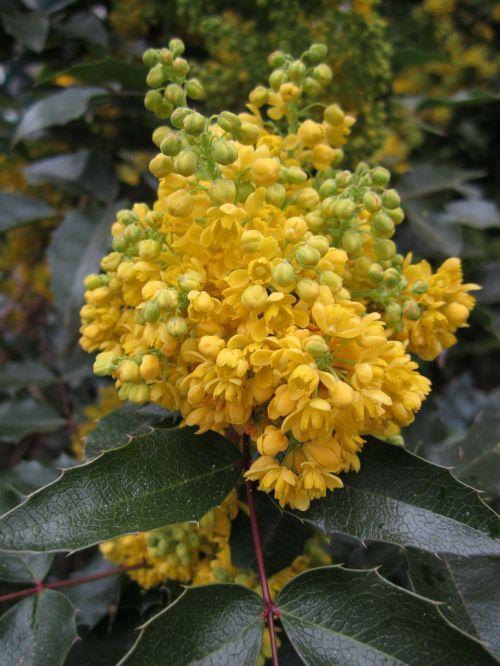 plant mahogany mahonia aquifolium