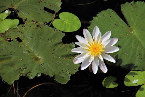 plant lotus leaf