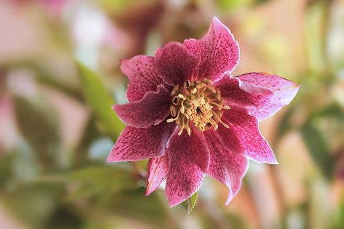 plant flower christmas rose