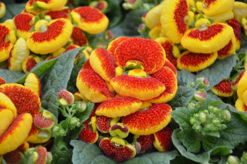plant plant calceolaria nature