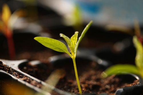 plant grow seedlings