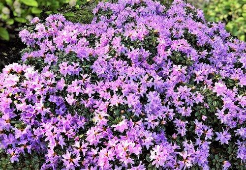 plant  azalea  early bloomer